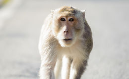 Little monkey looking for something.5 Royalty Free Stock Photography