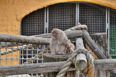 A little monkey with mother Stock Image