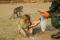 The little monkey in the Phra Prang Sam Yot. Lopburi of Thailand. Royalty Free Stock Image