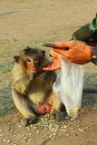 The little monkey in the Phra Prang Sam Yot. Lopburi of Thailand. Stock Image