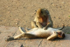 The little monkey in the Phra Prang Sam Yot. Lopburi of Thailand. Royalty Free Stock Photo