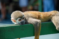 Little monkey Resting on wood. In Brazil Stock Photos
