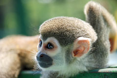 Little monkey Resting on wood. In Brazil Royalty Free Stock Photos