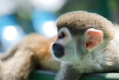 Little monkey Resting on wood Stock Photos
