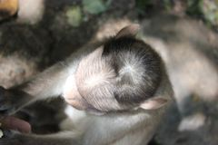little monkey`s head stock image