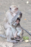A little monkey with it's mom Royalty Free Stock Image