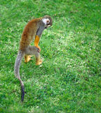 Little monkey searching for something in the grass. Squirrel monkey searching for something in the grass royalty free stock photos