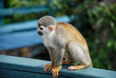 Little monkey seated on wood Royalty Free Stock Photo