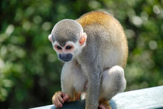 Little monkey seated on wood. In Brazil Stock Photos