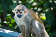 Little monkey seated on wood. In Brazil Stock Image
