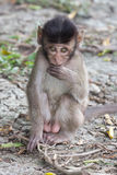 Little monkey shy Royalty Free Stock Image