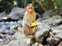 The little monkey sits on a stone and eats banana.  royalty free stock photo