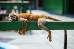 Little monkey sleeping on wood Stock Images