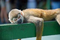 Little monkey slepping on wood Stock Photos