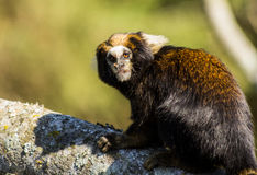 A little monkey from South America Stock Photo