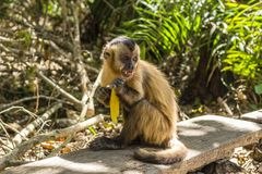 Little monkey with a banana. Little monkey in a table eating banana stock images