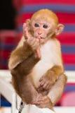 A little monkey toe sucking Stock Image