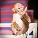 A little monkey toe sucking Royalty Free Stock Images