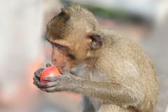 Little monkey with tomato. Little makaka monkey is eating tomato Royalty Free Stock Photo