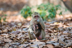 Little Monkey on tree in Thailand Royalty Free Stock Photography
