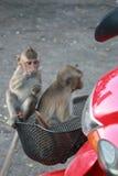 Little monkeys Stock Photo