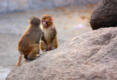 Little monkeys on the rock. Royalty Free Stock Image