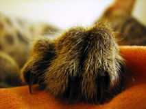 Little monster. Detail of kitten paw with claws Stock Images