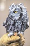 Little moody owl stock photo
