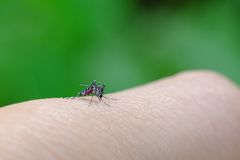 Little mosquito bitting human`s skin. Photographed at close distance Stock Image