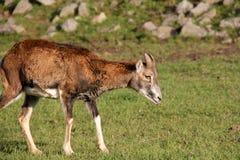 Little mouflon Stock Image