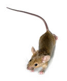 Little mouse. Isolated on white royalty free stock images