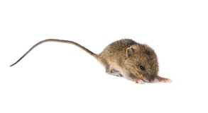 Little mouse Stock Image