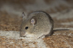 Little mouse. The little mouse sitting on the carpet Royalty Free Stock Photo