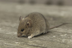 Little mouse. Sitting on the old wooden table Stock Photography