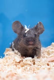 Little mouse Stock Photography