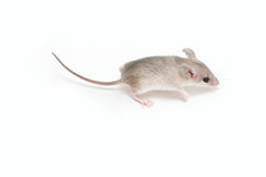 Little mouse. Little acomys (cairo mouse) on neutral background Stock Photo