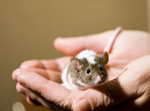 Little mouse. Cute little mouse in the hands of a human Royalty Free Stock Images