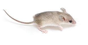 Little mouse. Little acomys (cairo mouse) on neutral background Stock Photography