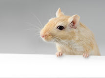 Little mouse above white banner Royalty Free Stock Photography