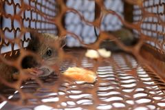 A little mouse with bread in the rat trap Stock Photo