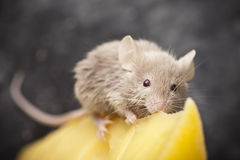 Little mouse and cheese Stock Photos