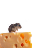Little mouse with cheese over white Royalty Free Stock Photo