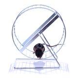 Little mouse on an exercise wheel. Little black mouse on an exercise wheel Stock Photos