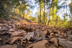 Little mouse in the forest. Nice and small mouse in the forest while walking quietly Stock Photo