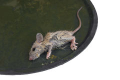 A little mouse in Glue trap Stock Photo