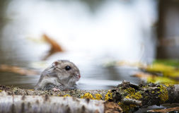 Little mouse hiding behind a twig Stock Photo