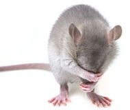 A little mouse Royalty Free Stock Image