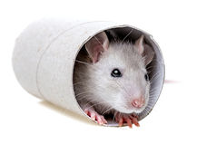 Little mouse - hiding in a paper roll Royalty Free Stock Photos