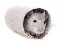 A little mouse  playing Royalty Free Stock Photography