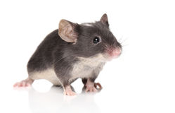 Little mouse posing Royalty Free Stock Image